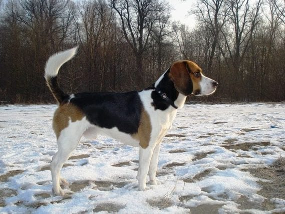 Beagle-Harrier dog breed