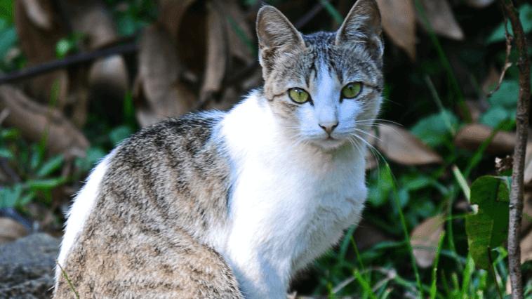 Ceylon Cat