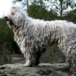 Bergamasco Shepherd