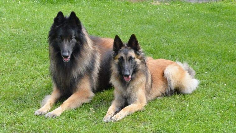 Belgian Shepherd Tervueren