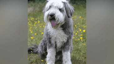 Bearded Collie: Dog Breed Profile
