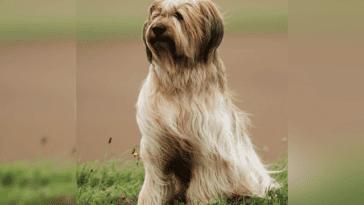 Briard: Dog Breed Profile