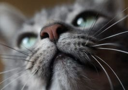 How Many whiskers Do Cats Have, Facts and