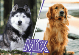 Golden Retriever Husky Mix: Goberian breed information and puppies prices