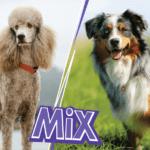 Australian Shepherd Poodle Mix: also known as Aussiedoodle