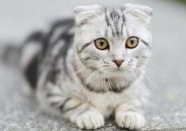 Adopting An Adult Cat Guide