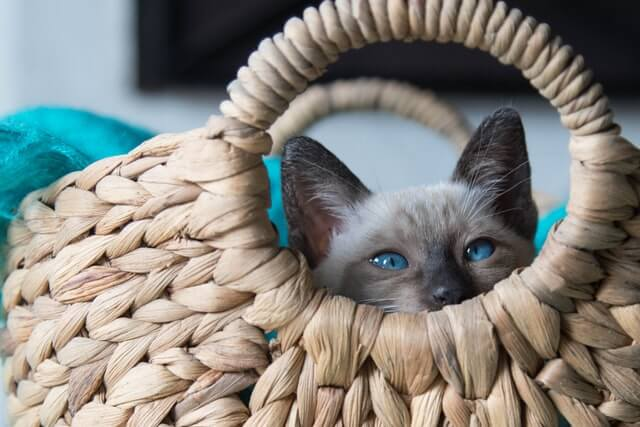 Best Siamese Cat Names for Males and Females
