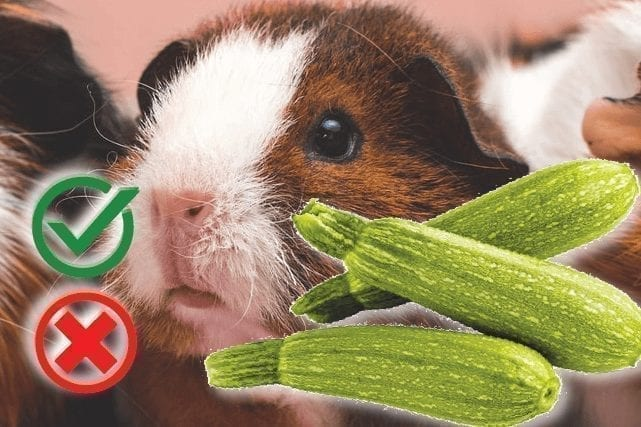 Can guinea pigs eat zucchini? Good or Harmful - The Pet Guide Home